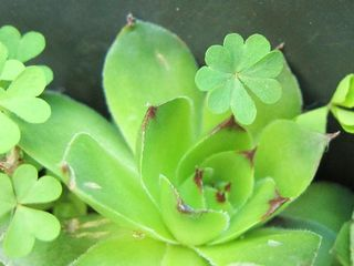 Four Leaf Clover Close