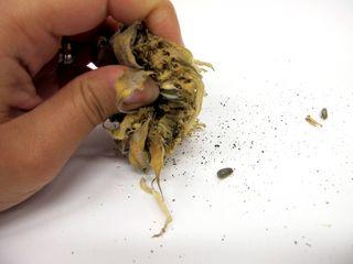 Sunflower Seed Harvesting (1)