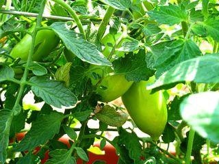 Plum Tomato_1