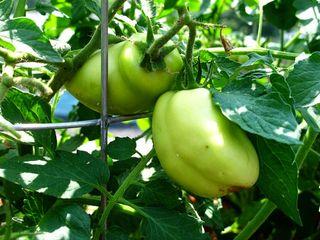 Plum Tomato_2