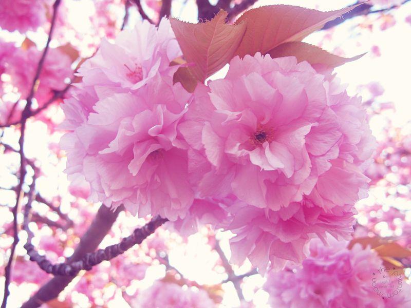 Apple Blossom_1
