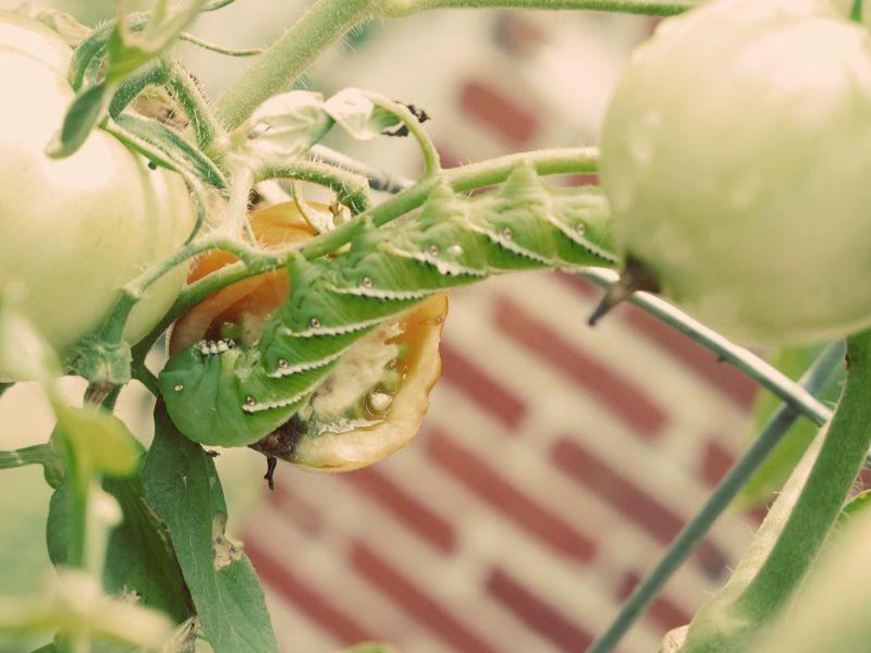 Tomato Hornworm_2a