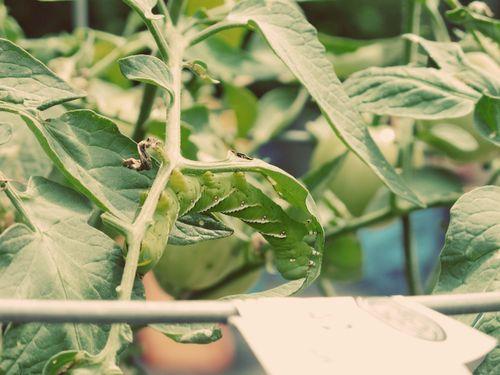 Tomato Hornworm_3a