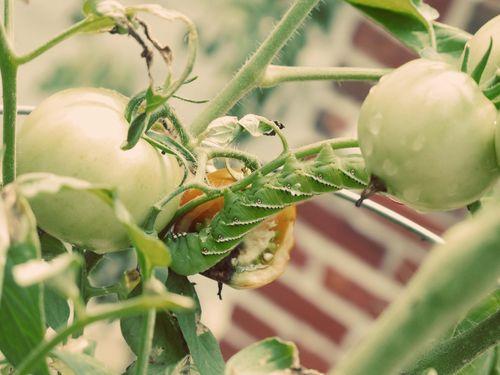 Tomato Hornworm_1a